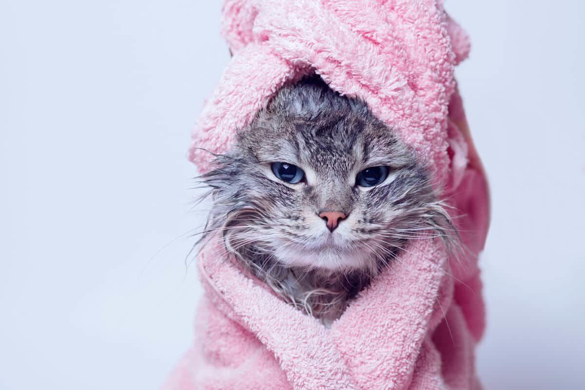 Quand et comment laver mon chat ?
